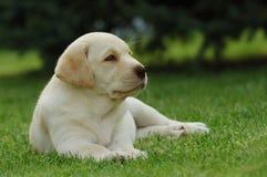 szczeniak labradora obrazy royalty free