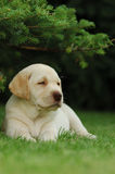 szczeniak labradora Obraz Royalty Free