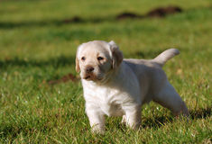 szczeniak labradora zdjęcia royalty free