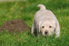 szczeniak labradora obraz stock