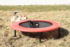 Szczeniak na trampoline Fotografia Stock