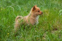 Szczeniak na trawie Obrazy Royalty Free