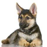 szczeniak niemieckiej shepherd Zdjęcie Stock