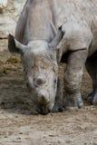 szczeniak nosorożec Fotografia Stock