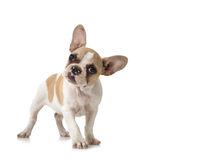 szczeniak odbitkowa ciekawa psia przestrzeń Zdjęcia Royalty Free