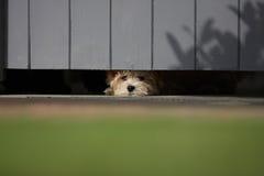 Szczeniak ono przygląda się out pod bramą Zdjęcia Royalty Free