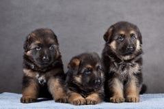 szczeniak psia niemiecka baca Obraz Stock