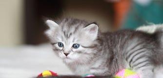 Szczeniak siberian kot przy jeden miesiącem Obrazy Royalty Free