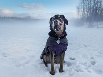 Szczeniak w Śnieżnym Śródpolnym zakotwienie Alaska Obrazy Royalty Free