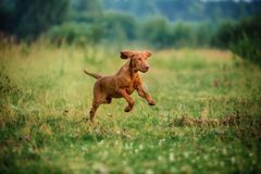 Szczeniaka śliczny vyzhla, czerwień psi bieg w jesieni polu obrazy royalty free