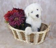 szczeniaka angielski stary sheepdog Zdjęcia Stock