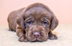 Szczeniaka aporteru Labrador retriever psi brown czekoladowy kolor obrazy royalty free