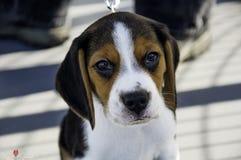 Szczeniaka beagle zdjęcia royalty free