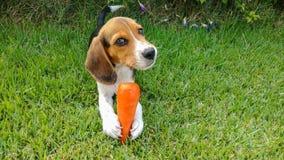 Szczeniaka beagle mi?o?ci marchewka fotografia royalty free