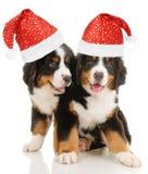 szczeniaka bernese sennenhund zdjęcie royalty free