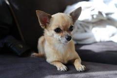 Szczeniaka chihuahua Fotografia Royalty Free