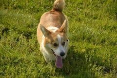 Szczeniaka Corgi Młody energiczny pies na spacerze Szczeniak edukacja, kynologia, intensywny szkolenie młodzi psy jest chodzenie  zdjęcie stock