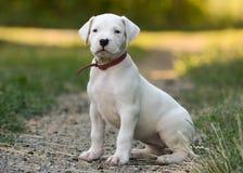 Szczeniaka Dogo Argentino obsiadanie w trawie Frontowy widok zdjęcia stock