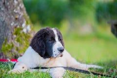 Szczeniaka landseer pies obraz stock