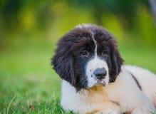 Szczeniaka landseer pies Obrazy Royalty Free