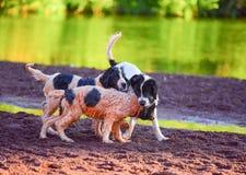 Szczeniaka landseer pies Zdjęcie Stock