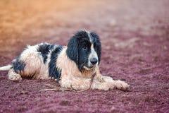 Szczeniaka landseer pies Obrazy Stock