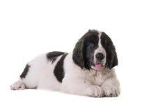 Szczeniaka landseer psa studio Zdjęcia Royalty Free