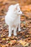 szczeniaka śliczny biel Obraz Stock