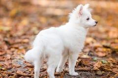szczeniaka śliczny biel Obrazy Royalty Free