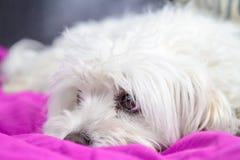Szczeniaka lying on the beach na łóżku Zdjęcie Royalty Free