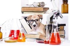 Szczeniaka mały laboratorium Obrazy Stock