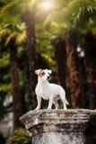 Szczeniaka mały psi traken Jack Russell Terrier obrazy royalty free