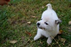 szczeniaka mały biel Zdjęcie Stock