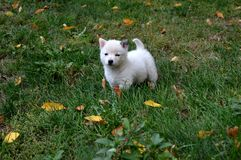 szczeniaka mały biel Obraz Royalty Free