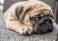 Szczeniaka mopsa pies Zdjęcie Stock