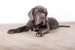 Szczeniaka Neapolitana mastino, siedzi na podłoga w studiu Psi tresery trenuje psy od dzieciństwa Zdjęcia Royalty Free
