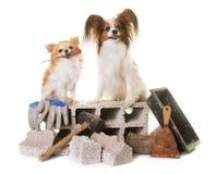 Szczeniaka pappillon pies, chihuahua i kamieniarstwo, Zdjęcie Stock