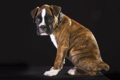 Szczeniaka pies Zdjęcia Stock