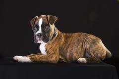 Szczeniaka pies Obrazy Royalty Free