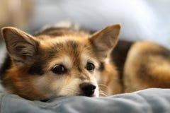 Szczeniaka pies Fotografia Royalty Free