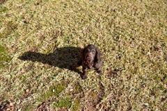 Szczeniaka pies bawić się w dół i relaksujący kłaść Obraz Royalty Free