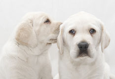 Szczeniaka pies dzieli sekret Zdjęcie Stock