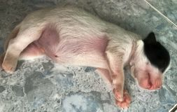 Szczeniaka pies Śpi Dobrze fotografia stock
