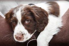 Szczeniaka pies w comfy łóżku Obrazy Royalty Free