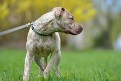 Szczeniaka pit bull terier 6 miesięcy starych Fotografia Royalty Free