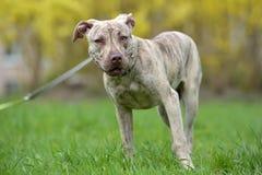 Szczeniaka pit bull terier 6 miesięcy starych Zdjęcia Stock