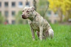 Szczeniaka pit bull terier 6 miesięcy starych Obraz Stock