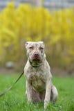 Szczeniaka pit bull terier 6 miesięcy starych Fotografia Stock