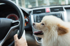 Szczeniaka pomeranian pies w samochodzie fotografia stock