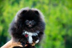 Szczeniaka Pomorski Spitz z swój właścicielem Młody energiczny pies na spacerze Bokobrody, portret, zbliżenie obraz stock